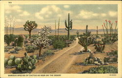 Various Species Of Cactus As Seen On The Desert