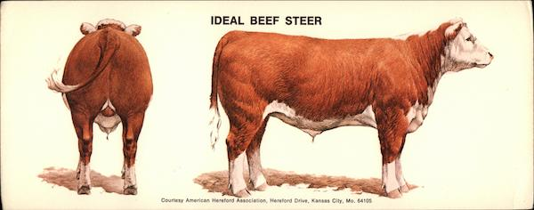 Ideal Beef Steer Cows & Cattle