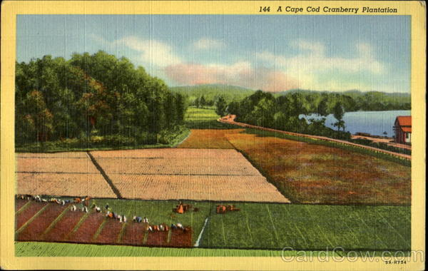 A Cape Cod Cranberry Plantation Massachusetts