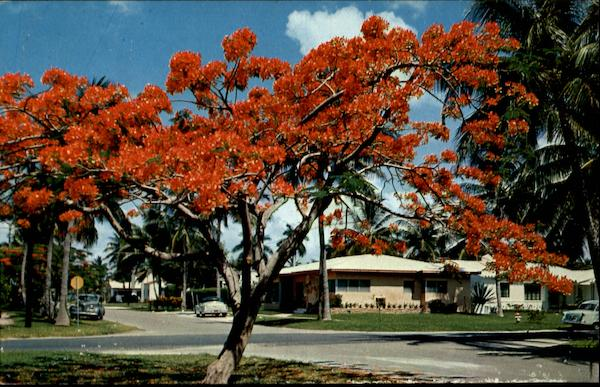 Royal Poinciana Miami Florida