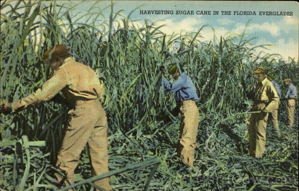 Harvested Sugar cane Clewiston Florida