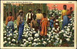 Down where the Cotton Blossoms Grow