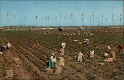 "Harvesting Carrots ""The lower Rio Grande Valley of Texas"" Postcard"