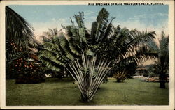 Fine specimen of rare Traveler's Palm