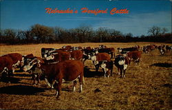 Nebraska's Hereford Cattle