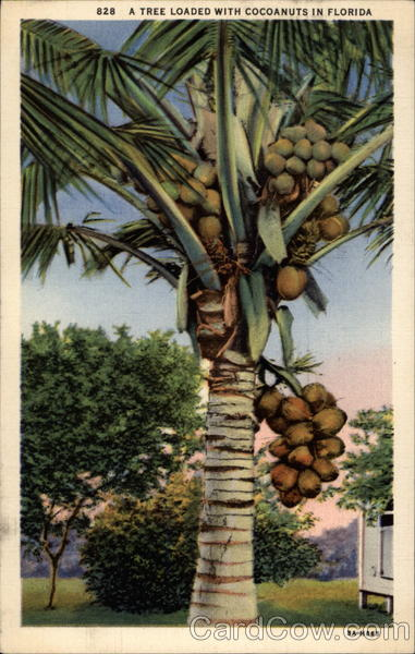 A tree loaded with cocoanuts in Florida Trees