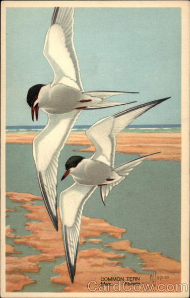 A Pair of Common Terns Birds