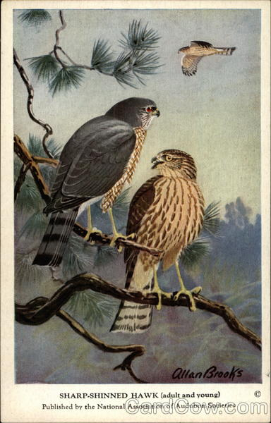 Sharp-Shinned Hawk (Adult and Young) Birds