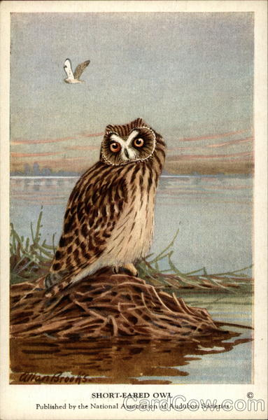 Short-Eared Owl Birds