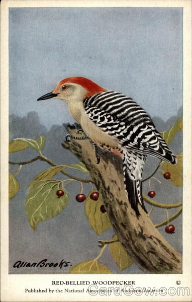 Red-bellied Woodpecker Birds