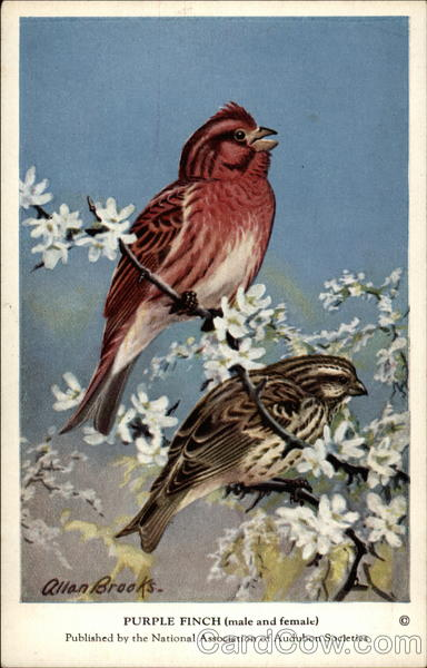 Purple Finch (male and female) Birds