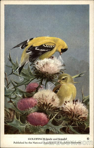 Goldfinch (male and female) Birds
