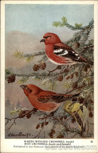 White-Winged Crossbill (Male), Red Crossbill (Male and Female)