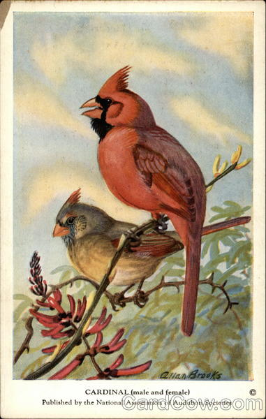 Male and Female Cardinals Birds