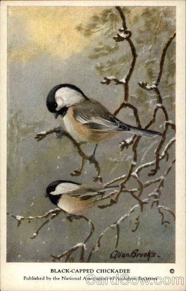 Black-Capped Chickadee Birds