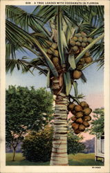 A tree loaded with cocoanuts in Florida