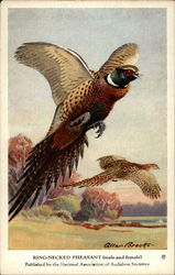 King-Necked Pheasant (male and female)