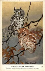 Screech Owl (gray and red phases)