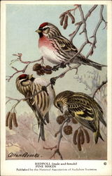 Redpoll (male and female), Pine Siskin