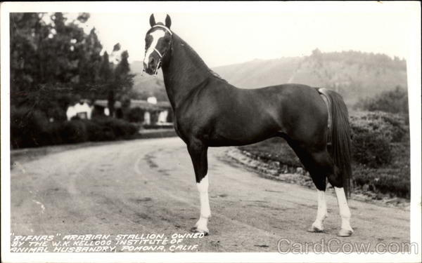 Rifnas Arabian Stallion Owned by the W. K. Kellogg Institue of Animal Husbandry Pomona California
