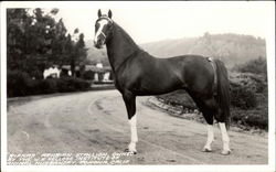 """Rifnas"" Arabian Stallion Owned by the W. K. Kellogg Institue of Animal Husbandry"
