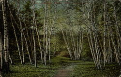 Path going through birch trees