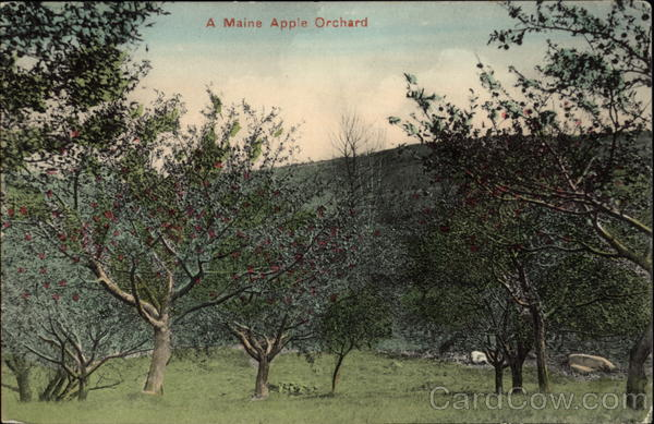 A Maine Apple Orchard