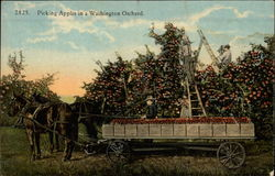 Picking Apples in a Washington Orchard