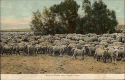 Band of Sheep