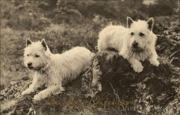 Two West Highland White Terriers Dogs