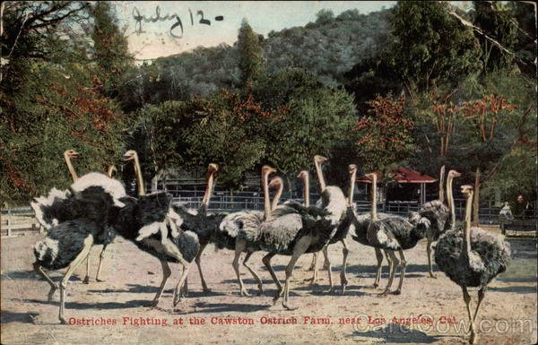 Ostriches Fighting at the Cawston Ostrich Farm Los Angeles California