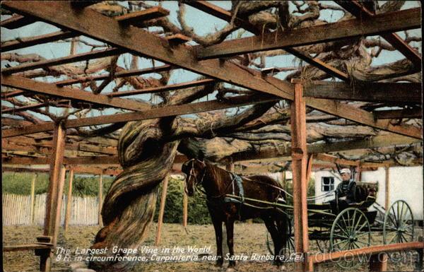The largest grape vine in the world Carpinteria, CA