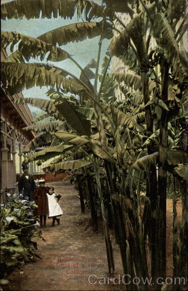 Banana Trees In Front of a Home California