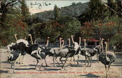 Ostriches Fighting at the Cawston Ostrich Farm