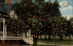 Orange Tree on Front Lawn of a private residence