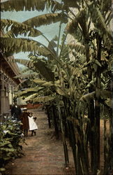 Banana Trees In Front of a Home
