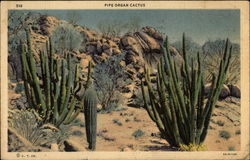 Pipe Organ Cactus, in desert setting