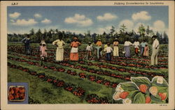 Sharecroppers picking strawberries in field