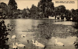 Swan Scene on The Lagoon, Brightwaters