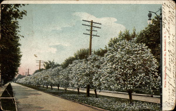 White Magnolias, Oxford St Rochester New York