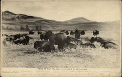 Herd of Buffaloes, Flathead Reservation