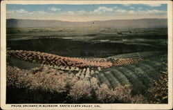 Prune Orchard in Blossom
