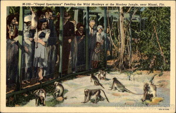 Feeding Wild monkeys a Monkey Jungle Miami Florida