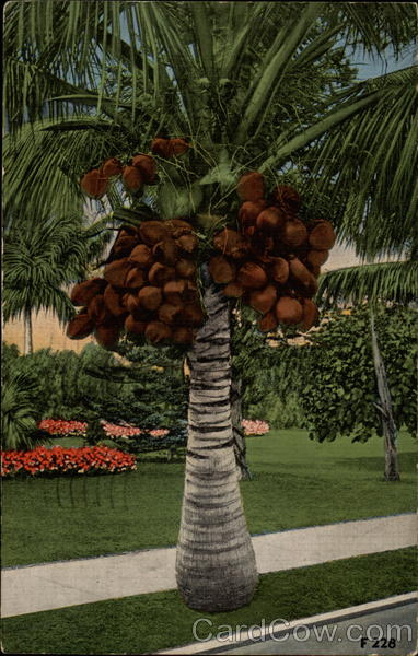 Coconuts in Florida Trees
