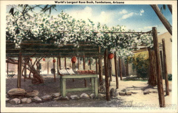 World's Largest Rose Bush Tombstone Arizona