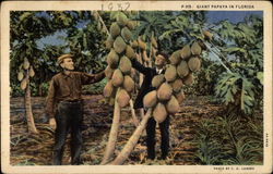 Giant Papaya in Florida