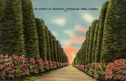 An avenue of beautiful Australian pines, Florida