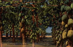 A Papaya Plantation Postcard