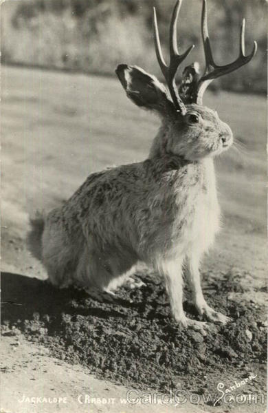 A Jackalope (Rabbit with Horns)