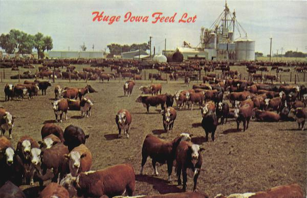 Huge Iowa Feed Lot Scenic Cows & Cattle